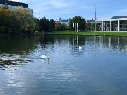 Swans on the Lake in UCD, waiting for 'Samain'?